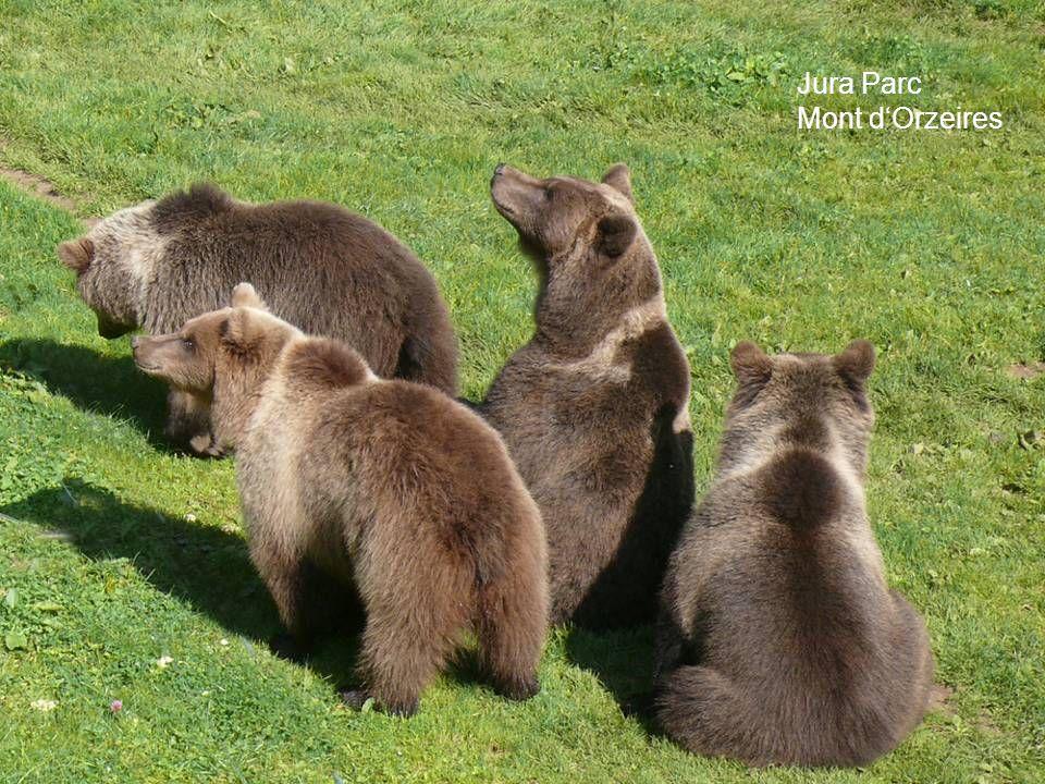 Schlussfolgerung  Der angeblich von Bären bevorzugte Mindest- Abstand von 10-30 m mag dann zutreffen, wenn fremde, erwachsene Bären zusammengehalten werden.