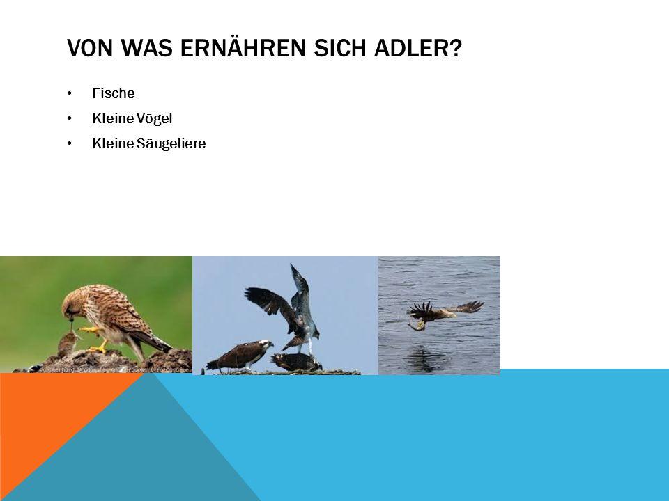 VON WAS ERNÄHREN SICH ADLER? Fische Kleine Vögel Kleine Säugetiere