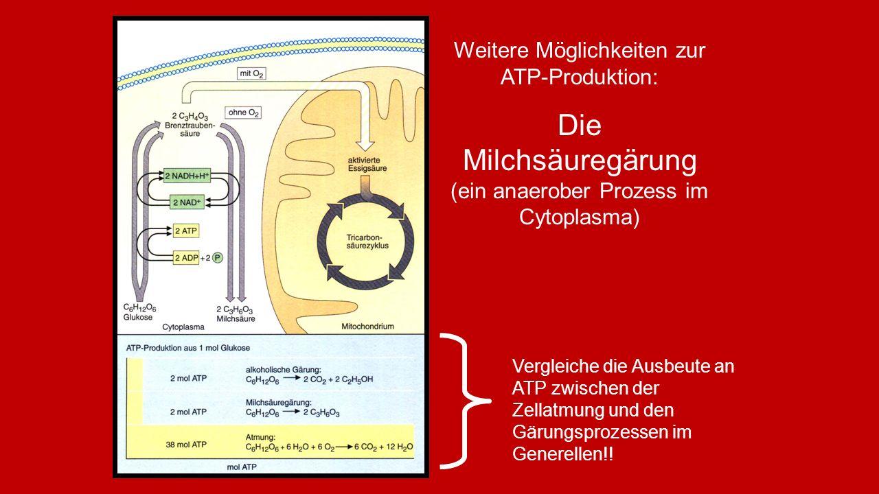 Weitere Möglichkeiten zur ATP-Produktion: Die Milchsäuregärung (ein anaerober Prozess im Cytoplasma) Vergleiche die Ausbeute an ATP zwischen der Zellatmung und den Gärungsprozessen im Generellen!!