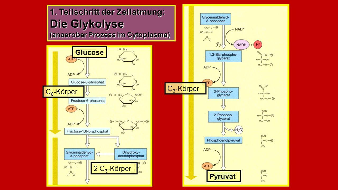 1. Teilschritt der Zellatmung: Die Glykolyse (anaerober Prozess im Cytoplasma) Glucose C 6 -Körper Pyruvat C 3 -Körper 2 C 3 -Körper