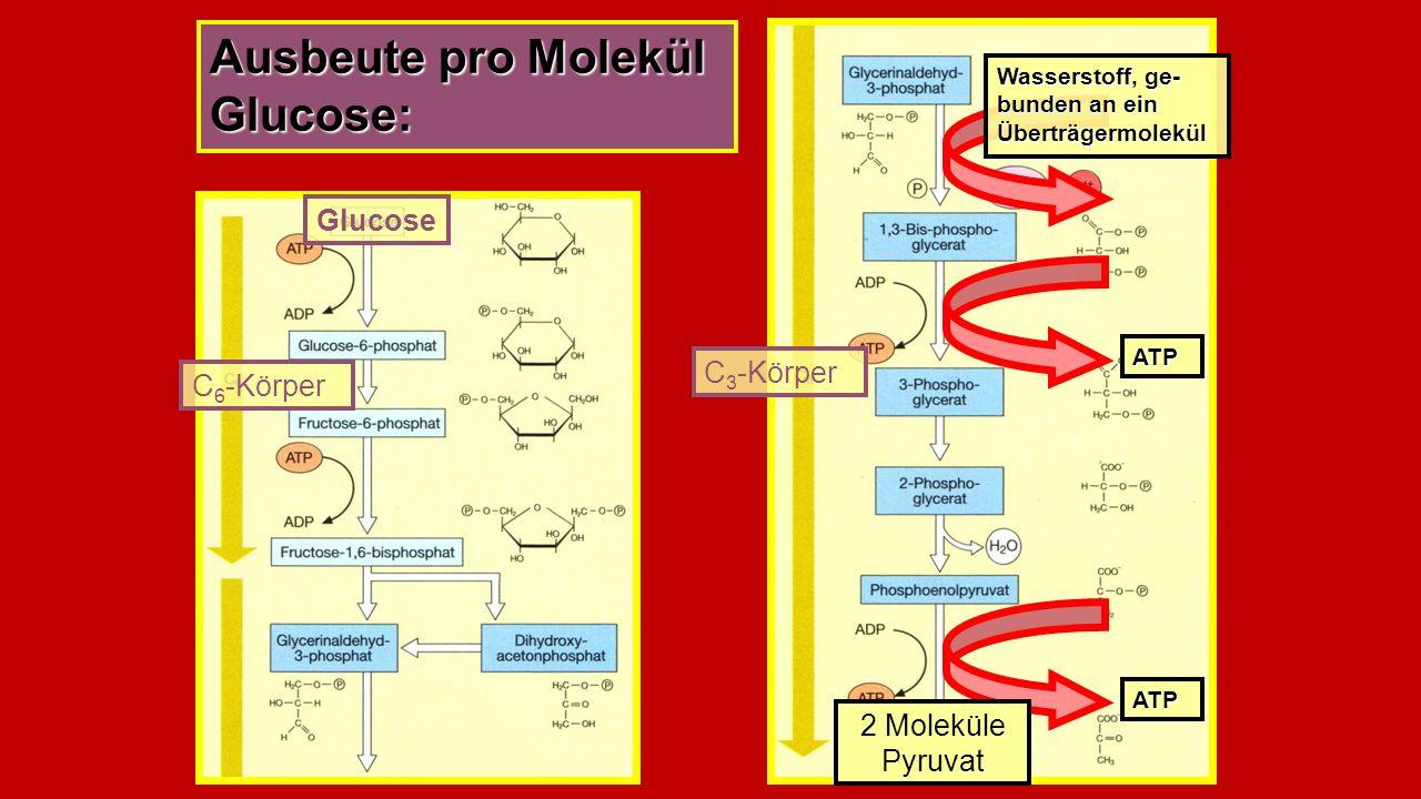 Ausbeute pro Molekül Glucose: Glucose C 6 -Körper Pyruvat C 3 -Körper Wasserstoff, ge- bunden an ein Überträgermolekül ATP ATP 2 Moleküle Pyruvat