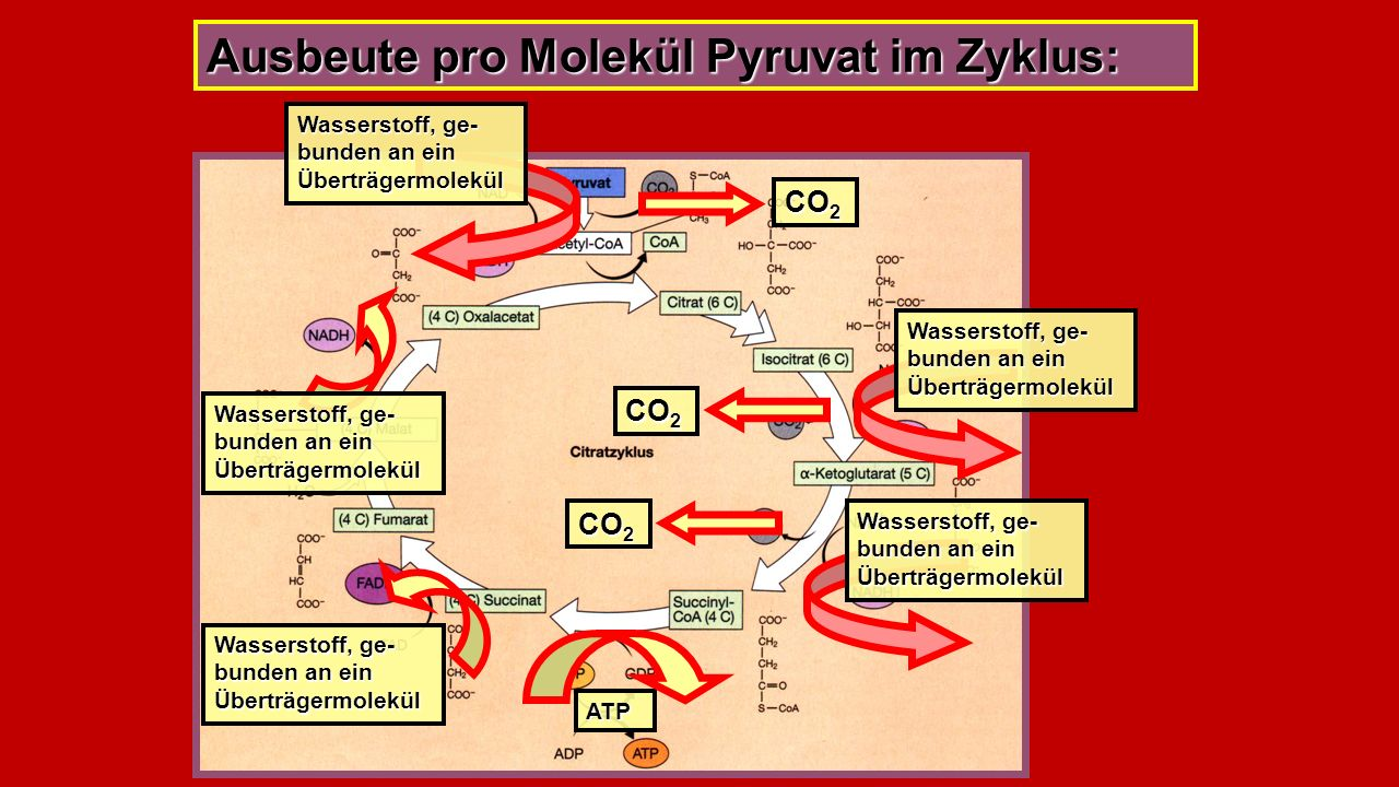 Ausbeute pro Molekül Pyruvat im Zyklus: CO 2 Wasserstoff, ge- bunden an ein Überträgermolekül ATP CO 2 Wasserstoff, ge- bunden an ein Überträgermolekül