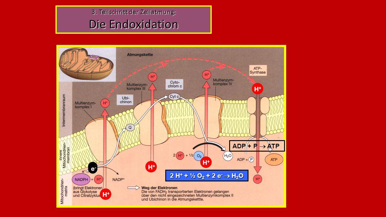 3. Teilschritt der Zellatmung: Die Endoxidation e-e- H+H+ H+H+ H+H+ 2 H + + ½ O 2 + 2 e -  H 2 O H+H+ e-e- e-e- ADP + P  ATP
