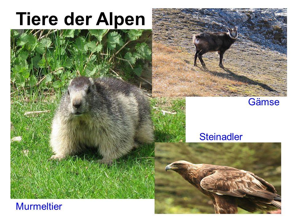 Tiere der Alpen Gämse Murmeltier Steinadler