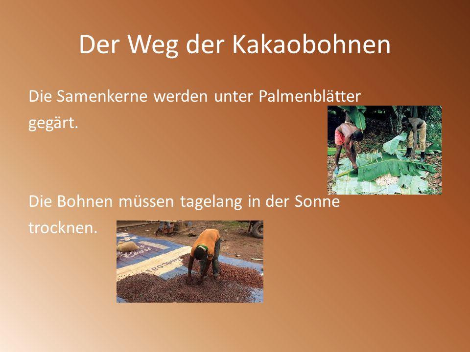 Der Weg der Kakaobohnen Die Samenkerne werden unter Palmenblätter gegärt. Die Bohnen müssen tagelang in der Sonne trocknen.