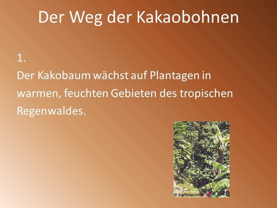 Der Weg der Kakaobohnen 1. Der Kakobaum wächst auf Plantagen in warmen, feuchten Gebieten des tropischen Regenwaldes.
