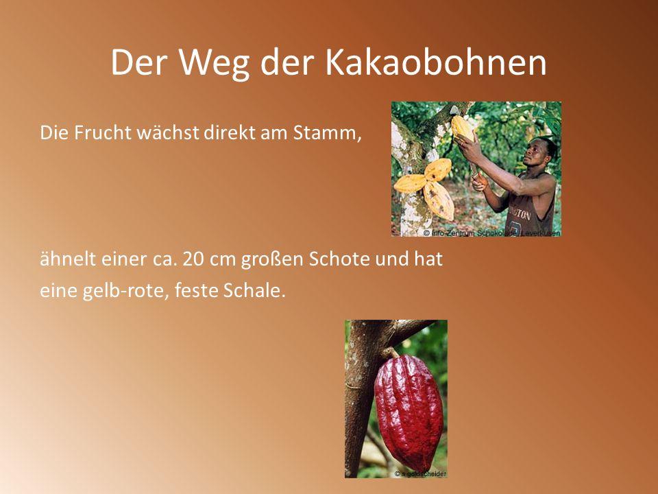 Der Weg der Kakaobohnen Die Frucht wächst direkt am Stamm, ähnelt einer ca. 20 cm großen Schote und hat eine gelb-rote, feste Schale.