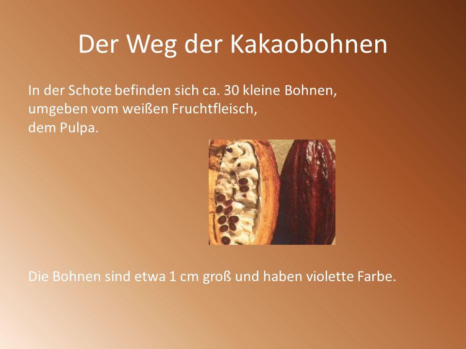 Der Weg der Kakaobohnen In der Schote befinden sich ca. 30 kleine Bohnen, umgeben vom weißen Fruchtfleisch, dem Pulpa. Die Bohnen sind etwa 1 cm groß