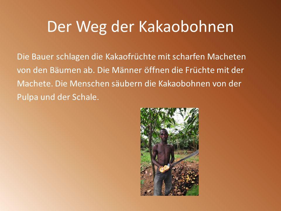 Der Weg der Kakaobohnen Die Bauer schlagen die Kakaofrüchte mit scharfen Macheten von den Bäumen ab. Die Männer öffnen die Früchte mit der Machete. Di