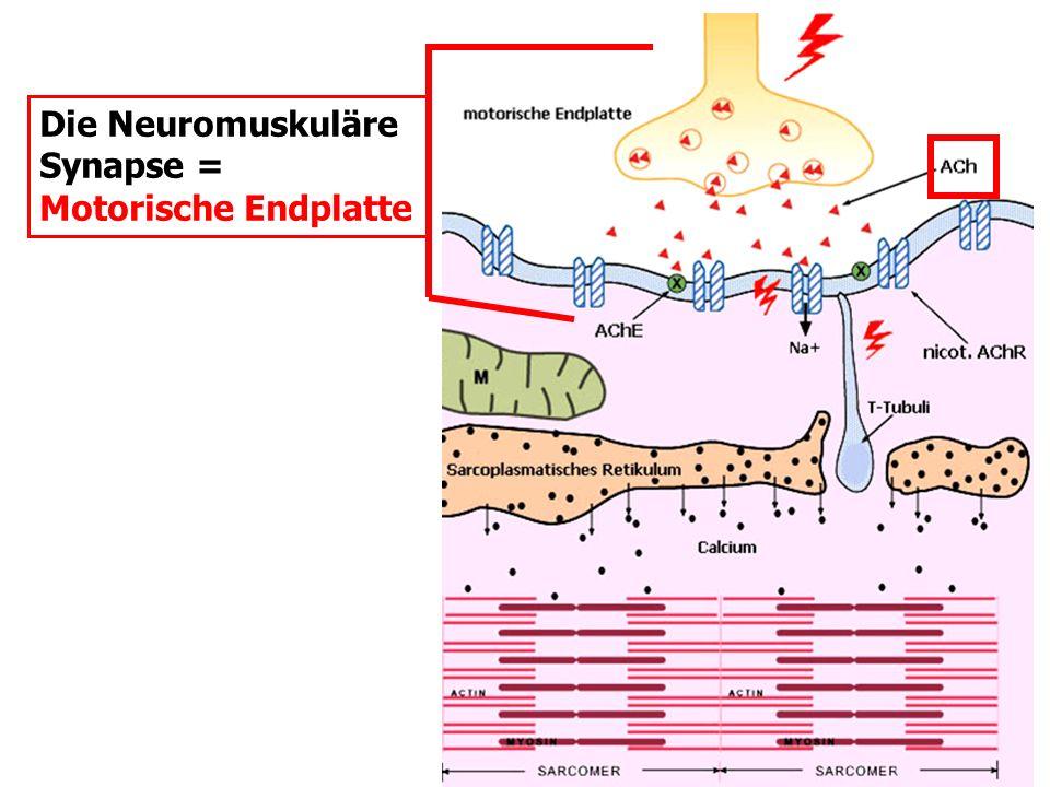 Die Neuromuskuläre Synapse = Motorische Endplatte