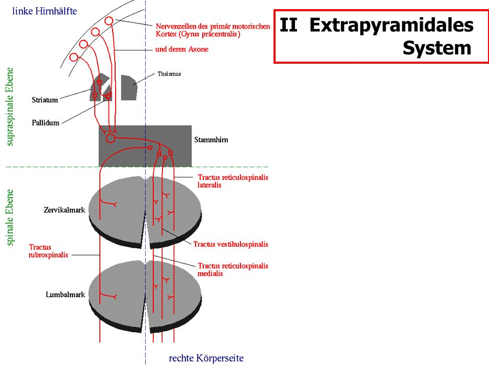 II Extrapyramidales System