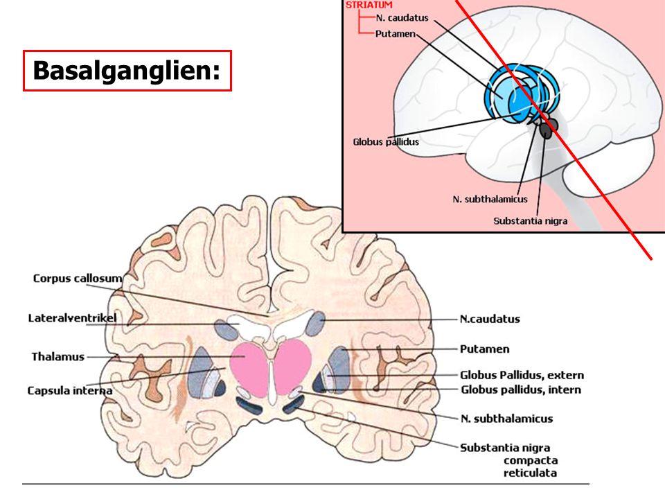 Basalganglien: