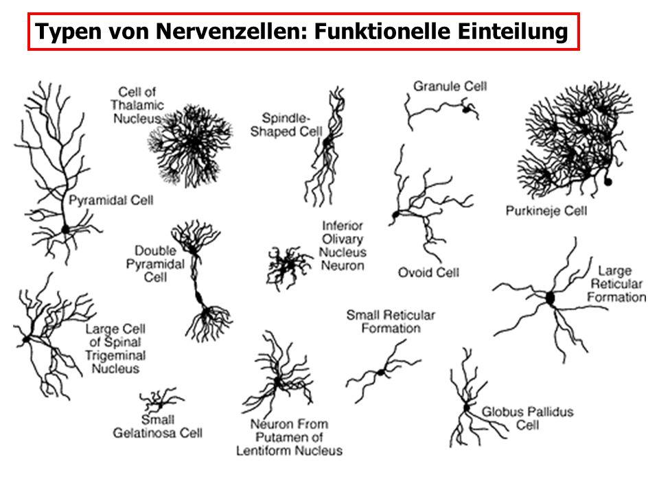 Chemische und Elektrische Synapsen Gap junctions