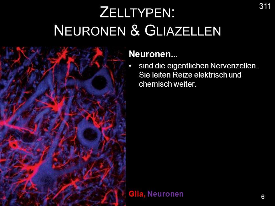 Z ELLTYPEN : N EURONEN & G LIAZELLEN 6 311 Neuronen...