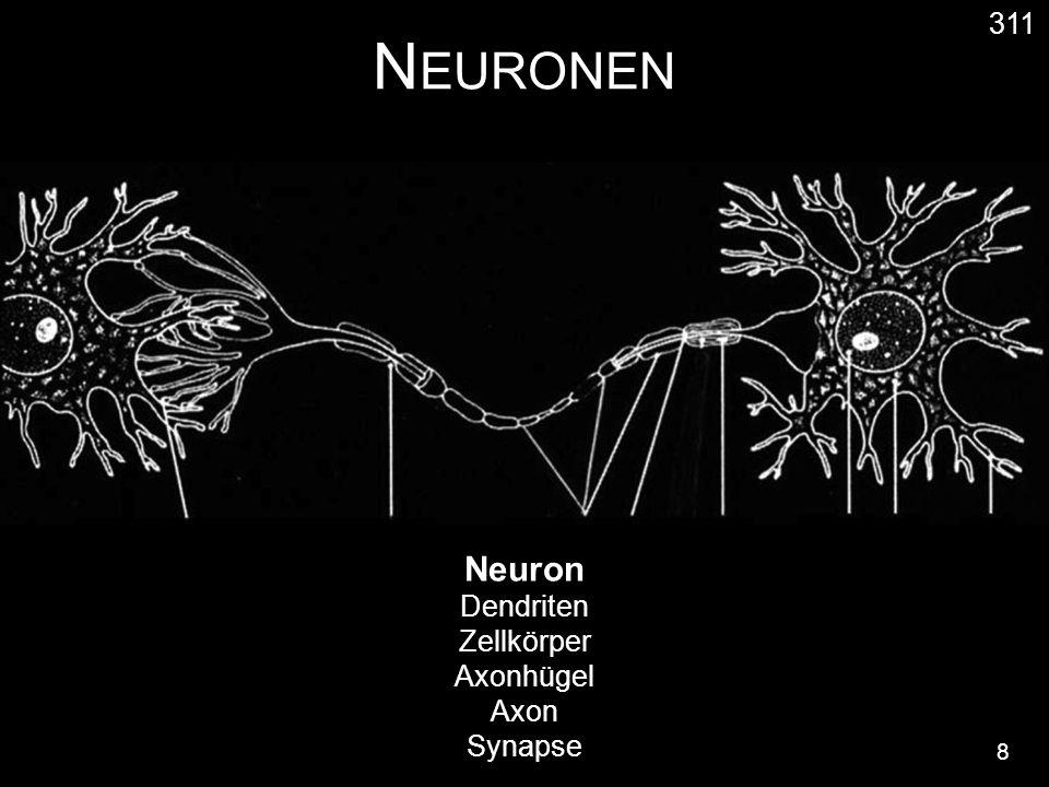 N EURONEN 8 311 Neuron Dendriten Zellkörper Axonhügel Axon Synapse