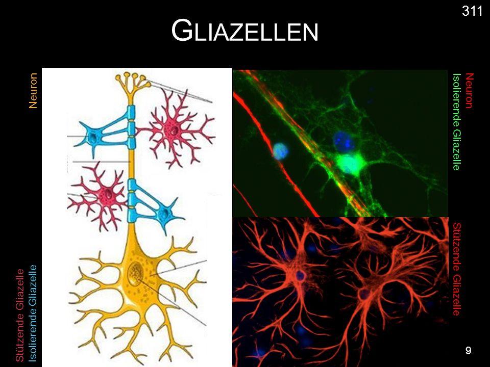 G LIAZELLEN 9 311 Neuron Isolierende Gliazelle Stützende Gliazelle Isolierende Gliazelle Neuron