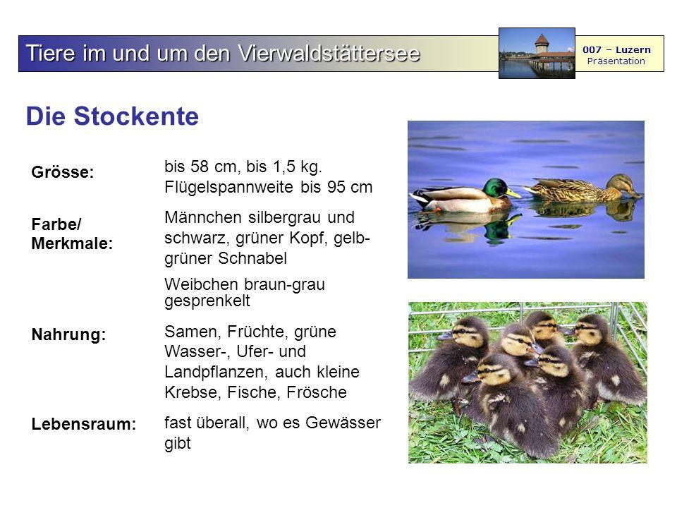 Die Stockente Tiere im und um den Vierwaldstättersee 007 – Luzern Präsentation Grösse: Farbe/ Merkmale: Nahrung: Lebensraum: bis 58 cm, bis 1,5 kg.