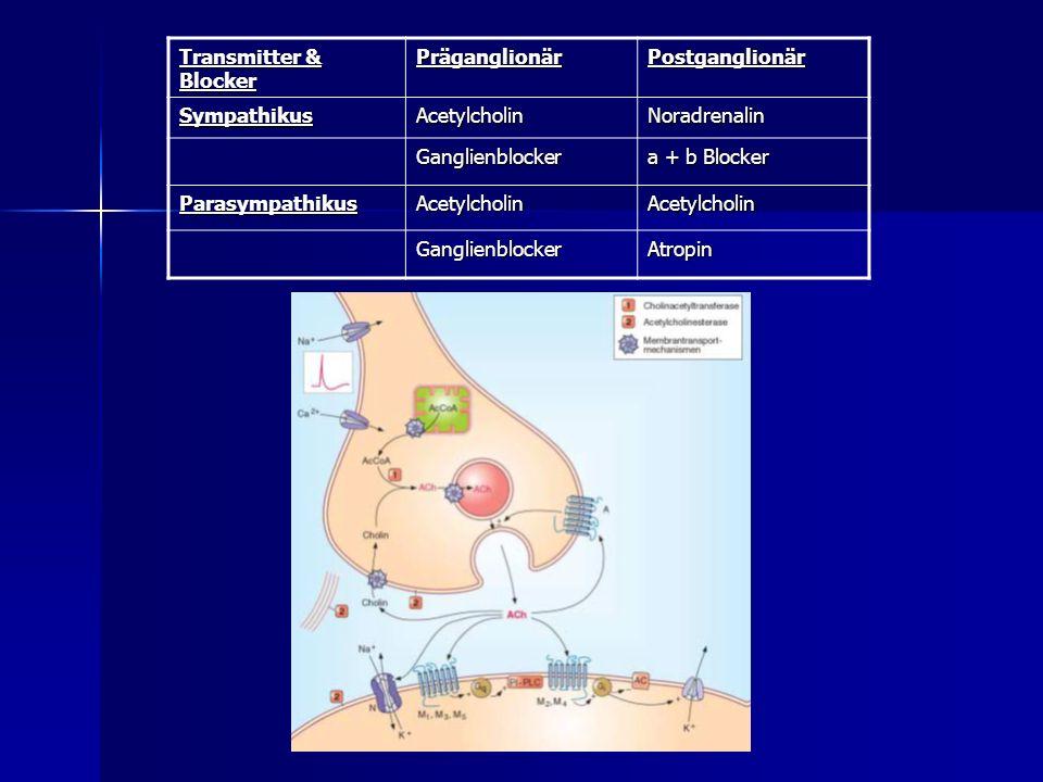 Transmitter & Blocker PräganglionärPostganglionär SympathikusAcetylcholinNoradrenalin Ganglienblocker a + b Blocker ParasympathikusAcetylcholinAcetylc