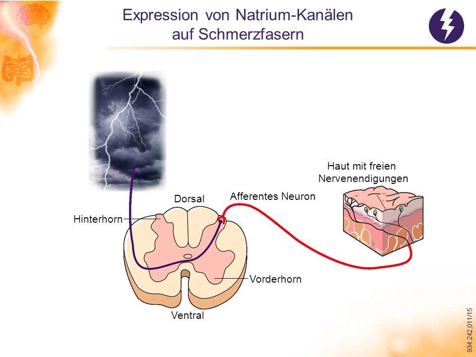 934.242,011/15 Expression von Natrium-Kanälen auf Schmerzfasern Ventral Dorsal Hinterhorn Vorderhorn Afferentes Neuron Haut mit freien Nervenendigungen