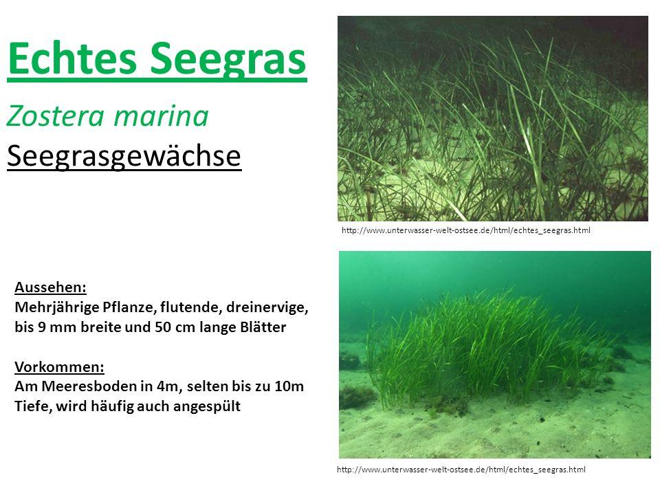 Echtes Seegras Zostera marina Seegrasgewächse http://www.unterwasser-welt-ostsee.de/html/echtes_seegras.html Aussehen: Mehrjährige Pflanze, flutende,