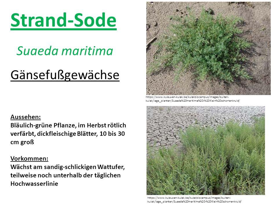 Strand-Sode Suaeda maritima https://www.kuleuven-kulak.be/kulakbiocampus/images/buiten- kulak/lage_planten/Suaeda%20maritima%20-%20Klein%20schorrenkru