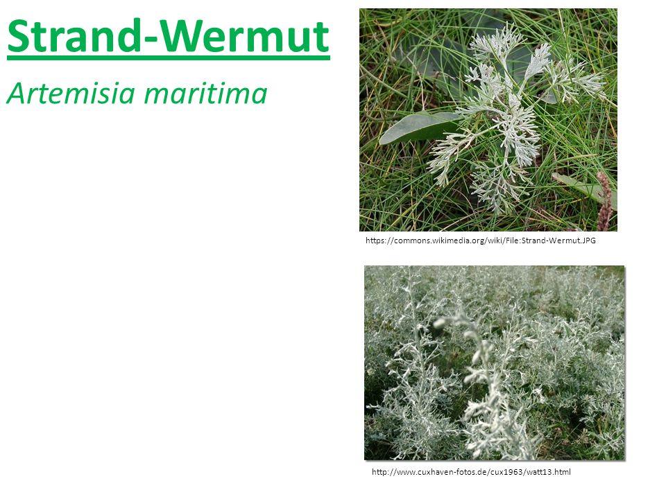 Strand-Wermut Artemisia maritima https://commons.wikimedia.org/wiki/File:Strand-Wermut.JPG http://www.cuxhaven-fotos.de/cux1963/watt13.html