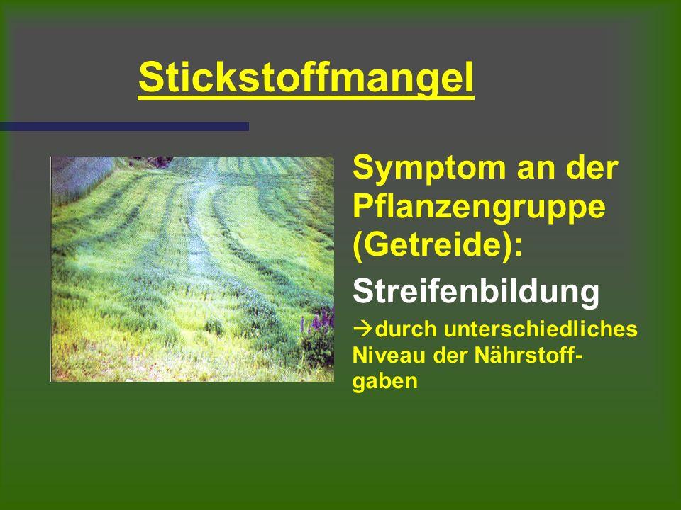 Stickstoffmangel Symptom an der Pflanzengruppe (Getreide): Streifenbildung  durch unterschiedliches Niveau der Nährstoff- gaben