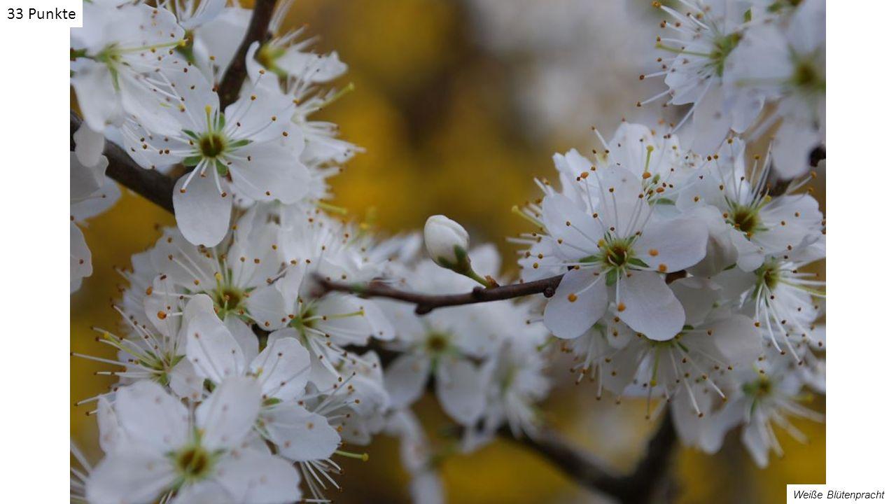Weiße Blütenpracht 33 Punkte