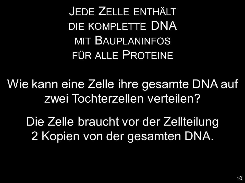 J EDE Z ELLE ENTHÄLT DIE KOMPLETTE DNA MIT B AUPLANINFOS FÜR ALLE P ROTEINE 10 Wie kann eine Zelle ihre gesamte DNA auf zwei Tochterzellen verteilen?