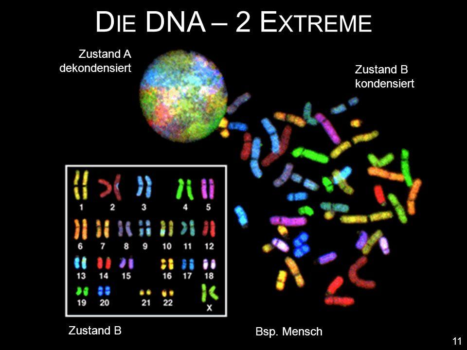 D IE DNA – 2 E XTREME 11 Zustand A dekondensiert Zustand B kondensiert Zustand B Bsp. Mensch
