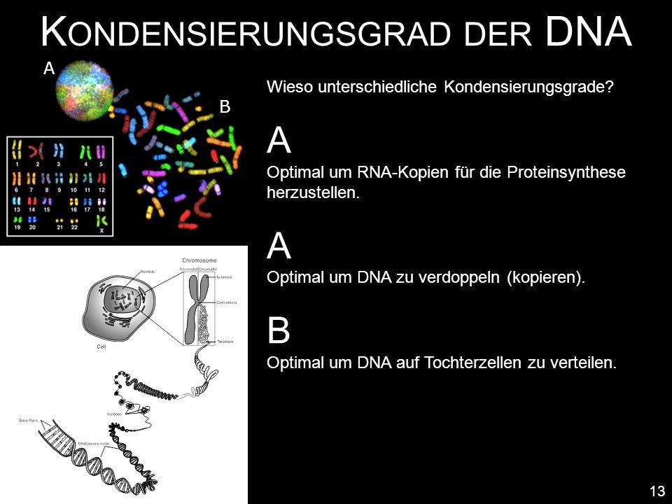 K ONDENSIERUNGSGRAD DER DNA 13 Zustand A dekondensiert Wieso unterschiedliche Kondensierungsgrade? A Optimal um RNA-Kopien für die Proteinsynthese her