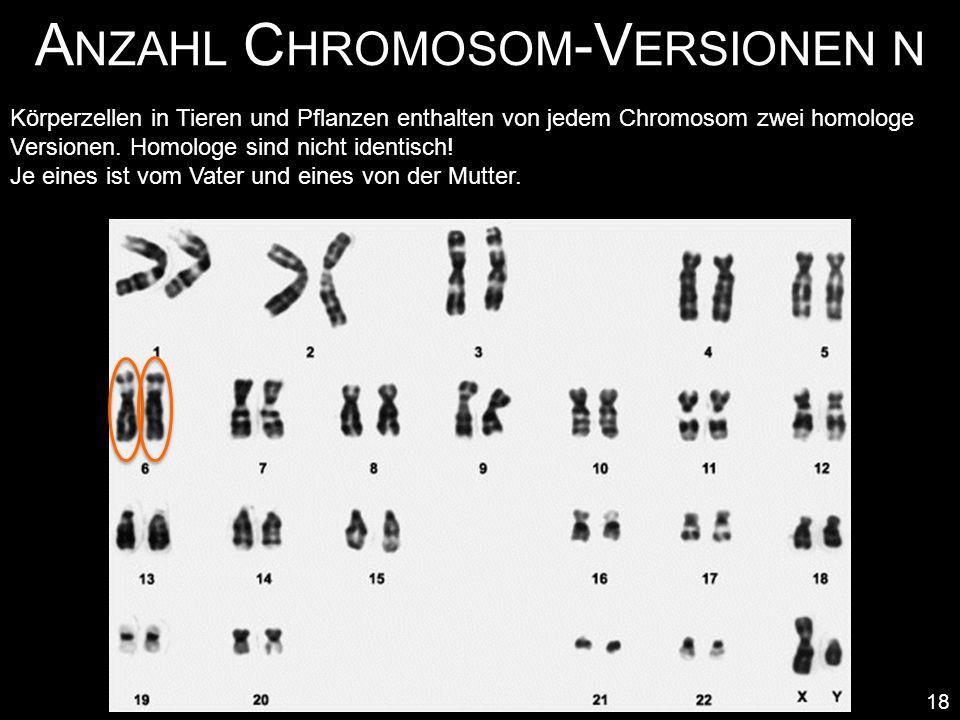 A NZAHL C HROMOSOM -V ERSIONEN N 18 Körperzellen in Tieren und Pflanzen enthalten von jedem Chromosom zwei homologe Versionen. Homologe sind nicht ide