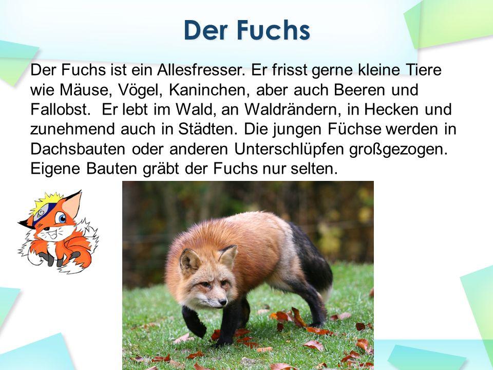 Der Fuchs ist ein Allesfresser. Er frisst gerne kleine Tiere wie Mäuse, Vögel, Kaninchen, aber auch Beeren und Fallobst. Er lebt im Wald, an Waldrände