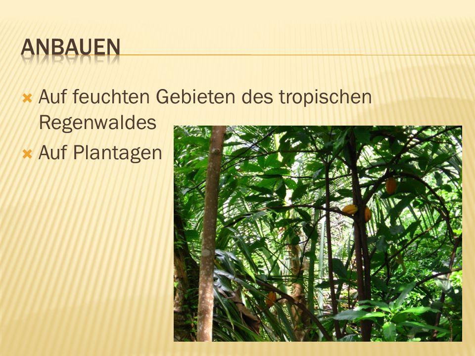  Auf feuchten Gebieten des tropischen Regenwaldes  Auf Plantagen