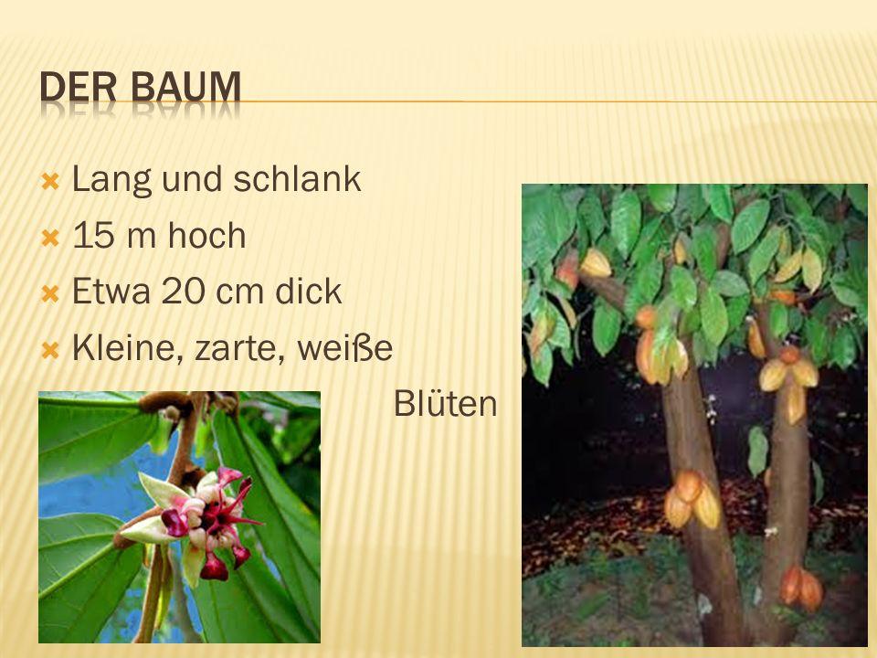  Am Stamm  20 cm große Schote  Gelb-rote, feste Schale  Etwa 30 kleine Bohnen und weißes Fruchtfleisch  Die Bohnen sind 1 cm groß und haben violette Farbe