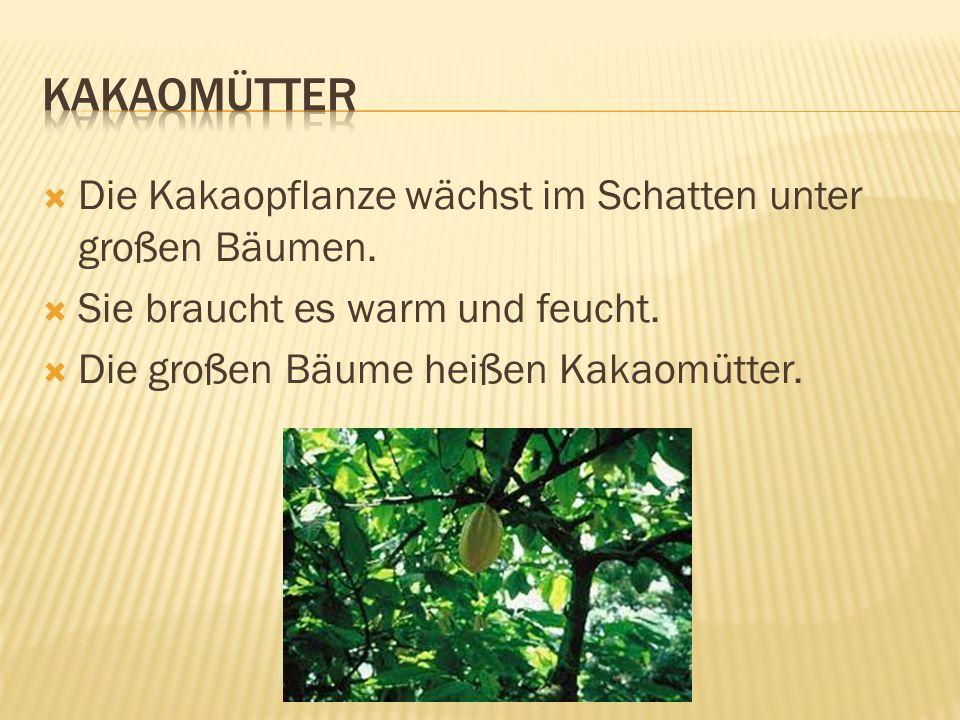  Die Kakaopflanze wächst im Schatten unter großen Bäumen.