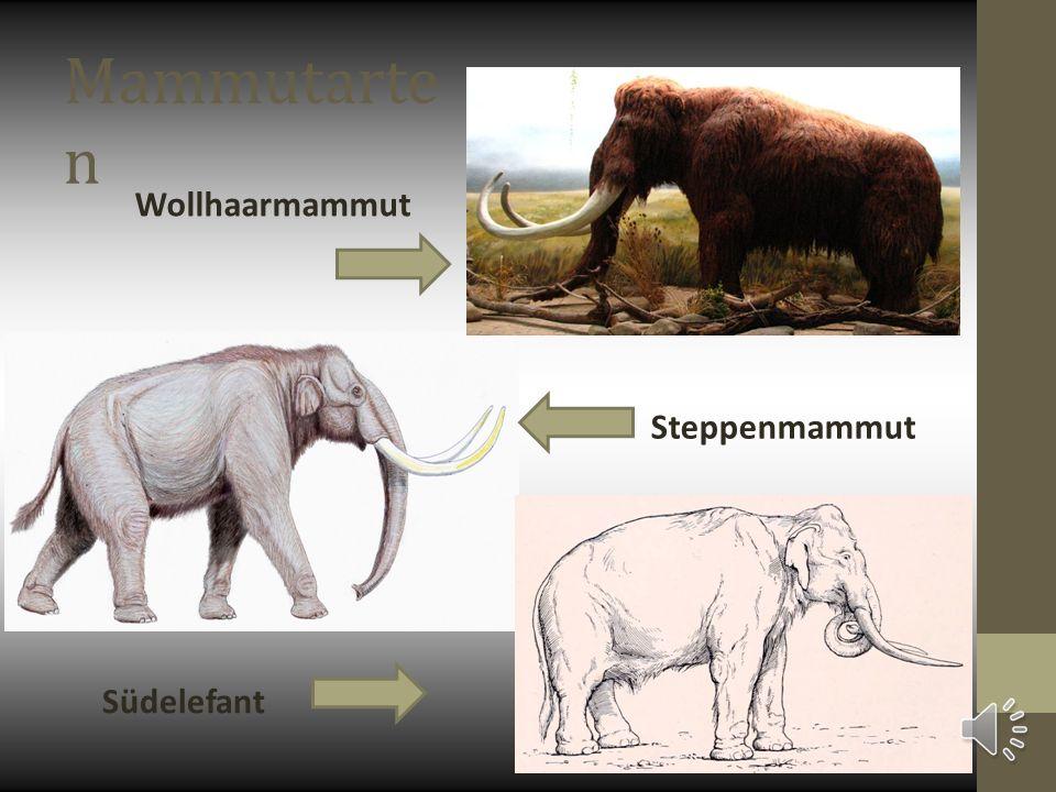 Mammutarte n Wollhaarmammut Steppenmammut Südelefant