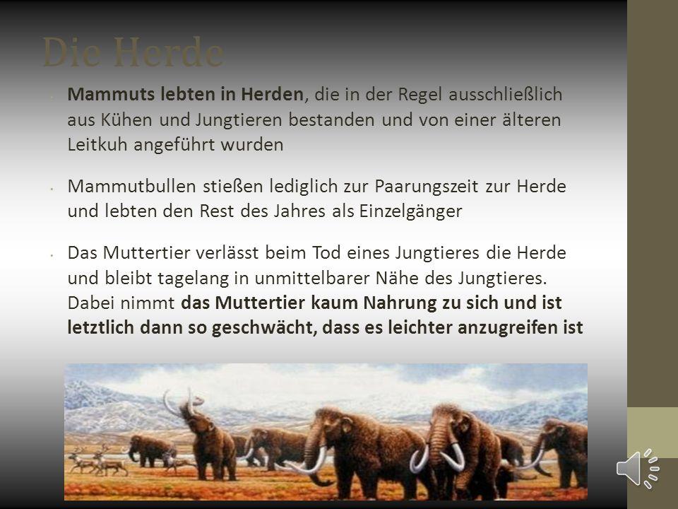 Die Herde Mammuts lebten in Herden, die in der Regel ausschließlich aus Kühen und Jungtieren bestanden und von einer älteren Leitkuh angeführt wurden Mammutbullen stießen lediglich zur Paarungszeit zur Herde und lebten den Rest des Jahres als Einzelgänger Das Muttertier verlässt beim Tod eines Jungtieres die Herde und bleibt tagelang in unmittelbarer Nähe des Jungtieres.