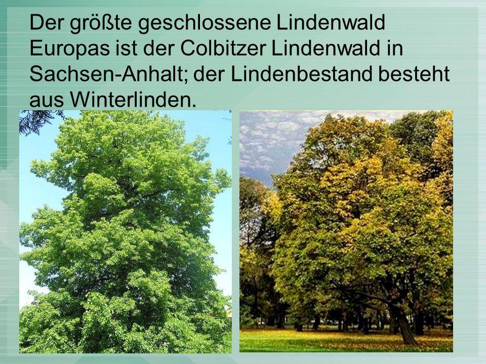 Der größte geschlossene Lindenwald Europas ist der Colbitzer Lindenwald in Sachsen-Anhalt; der Lindenbestand besteht aus Winterlinden.