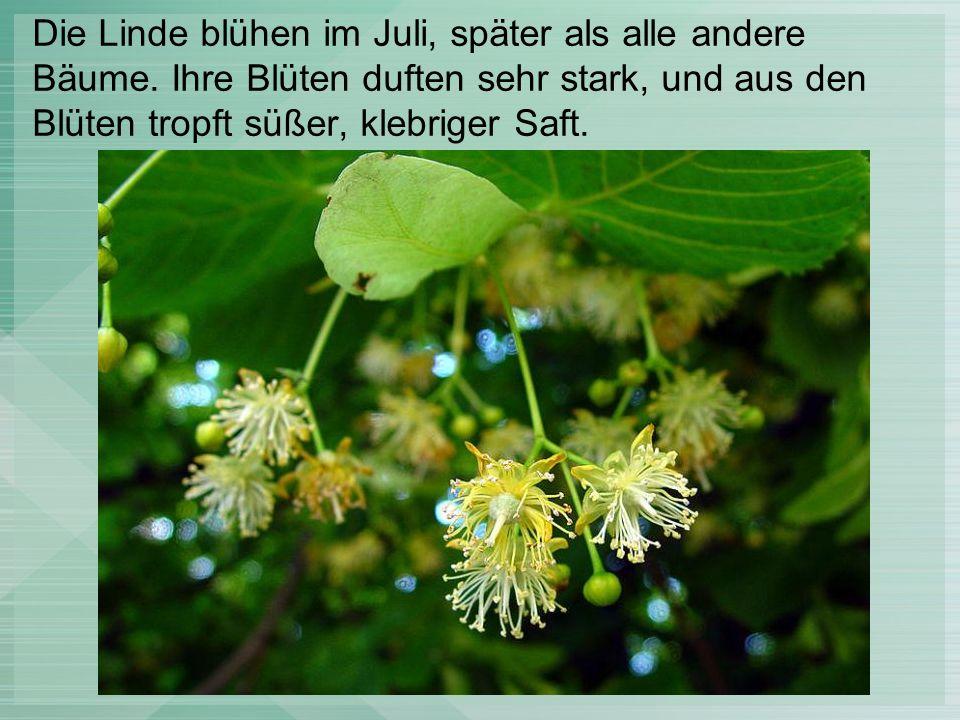 Die Linde blühen im Juli, später als alle andere Bäume.