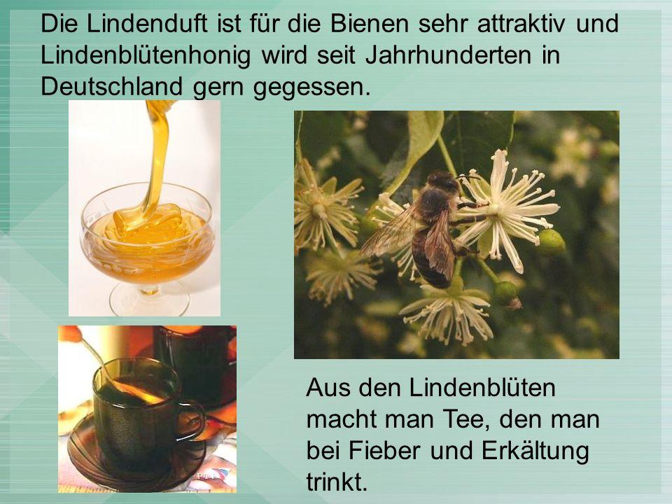 Das Holz vom Lindenbaum ist sehr weich, deshalb kann man es zum Bauen und Heizung nicht benutzen.