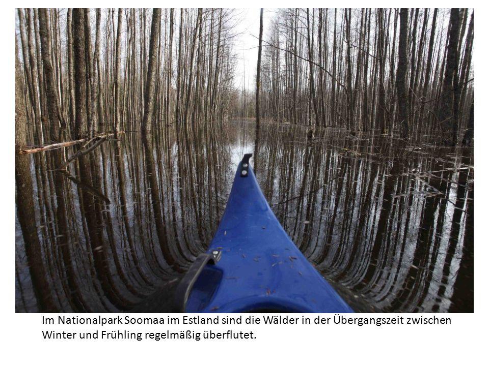 Im Nationalpark Soomaa im Estland sind die Wälder in der Übergangszeit zwischen Winter und Frühling regelmäßig überflutet.