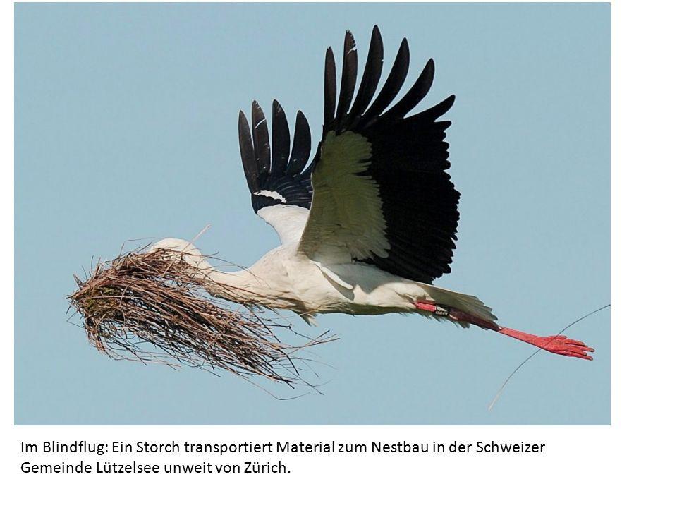 Im Blindflug: Ein Storch transportiert Material zum Nestbau in der Schweizer Gemeinde Lützelsee unweit von Zürich.
