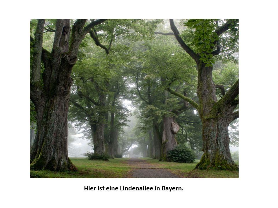 Hier ist eine Lindenallee in Bayern.