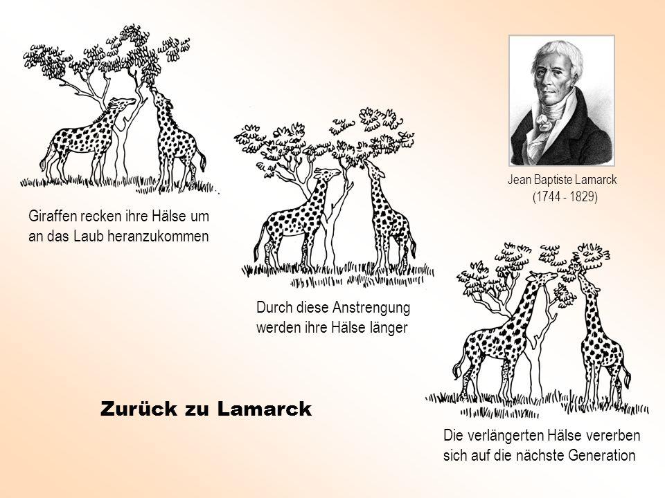 Giraffen recken ihre Hälse um an das Laub heranzukommen Durch diese Anstrengung werden ihre Hälse länger Die verlängerten Hälse vererben sich auf die nächste Generation Zurück zu Lamarck Jean Baptiste Lamarck (1744 - 1829)