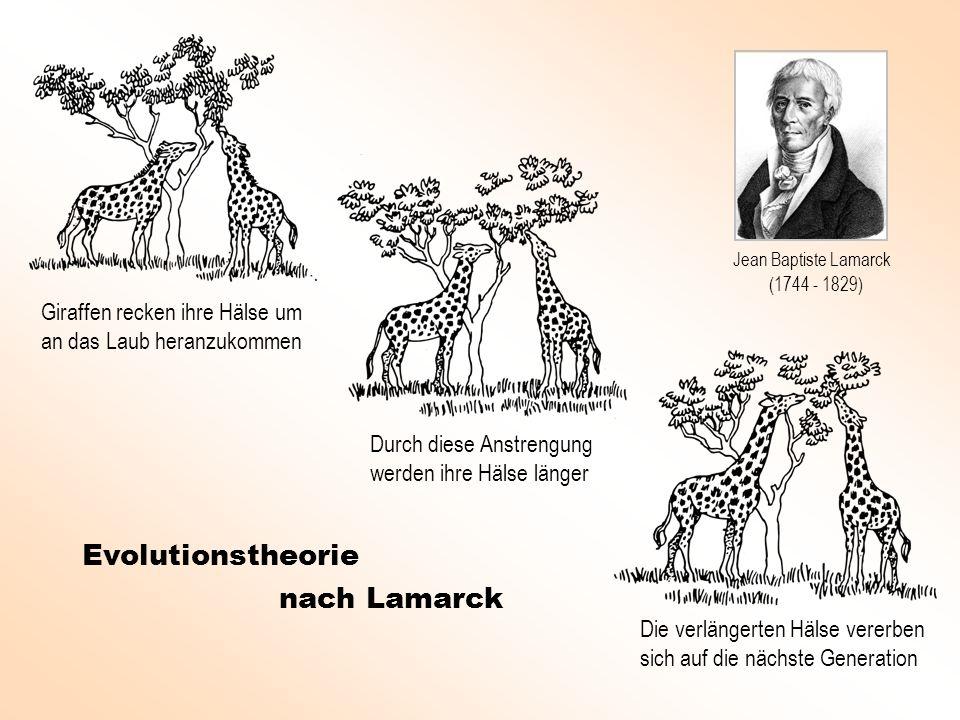 Giraffen recken ihre Hälse um an das Laub heranzukommen Durch diese Anstrengung werden ihre Hälse länger Die verlängerten Hälse vererben sich auf die nächste Generation Evolutionstheorie nach Lamarck Jean Baptiste Lamarck (1744 - 1829)