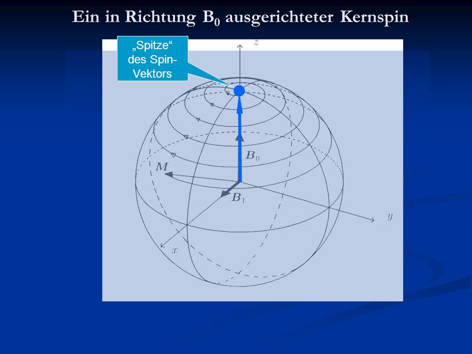 """Ein in Richtung B 0 ausgerichteter Kernspin """"Spitze des Spin- Vektors"""