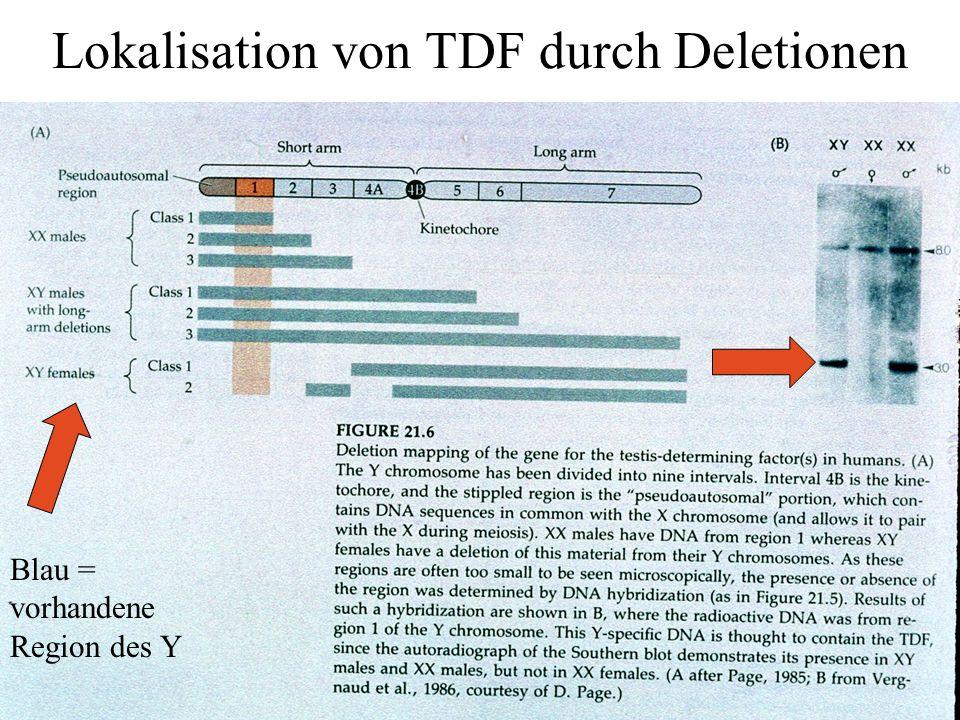 Lokalisation von TDF durch Deletionen Blau = vorhandene Region des Y