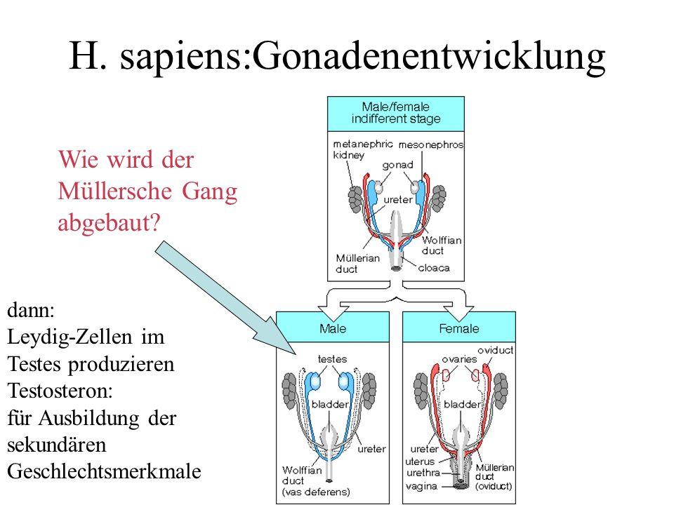 H. sapiens:Gonadenentwicklung dann: Leydig-Zellen im Testes produzieren Testosteron: für Ausbildung der sekundären Geschlechtsmerkmale Wie wird der Mü