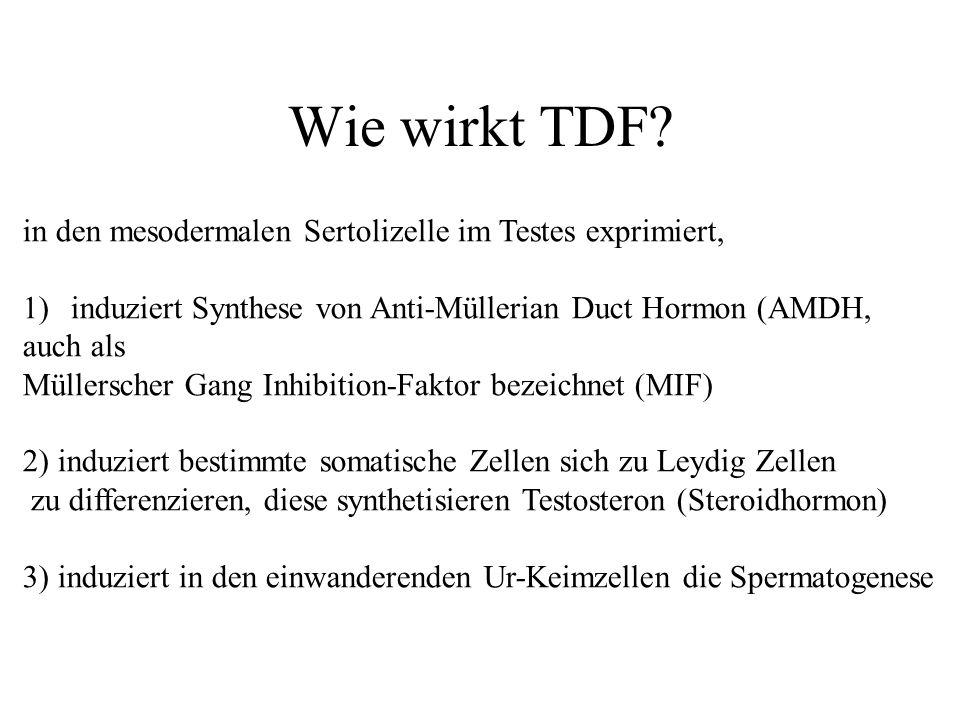 Wie wirkt TDF? in den mesodermalen Sertolizelle im Testes exprimiert, 1)induziert Synthese von Anti-Müllerian Duct Hormon (AMDH, auch als Müllerscher
